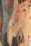 eukaliptus obrazy stock