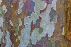 Eukaliptus barkentyna Fotografia Stock