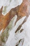 Eukaliptus barkentyna Obrazy Royalty Free