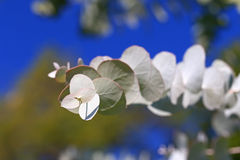 Eukaliptus gałąź Fotografia Stock