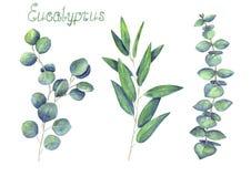 Eukaliptus opuszcza błękitną zieleń ustawiającą odizolowywającą na białym tle i rozgałęzia się royalty ilustracja