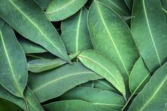 Eukaliptus Opuszcza Pełnemu Ramowemu tłu Odgórnego widok Zdjęcia Royalty Free