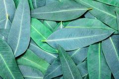 Eukaliptus opuszcza tło Zdjęcia Royalty Free