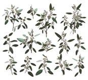 Eukaliptusa srebro, zerin, cynerarie, greenery, gumowego drzewa ulistnienia naturalni liście i gałąź projektanta sztuki tropikaln ilustracji