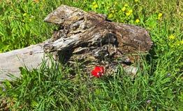 Eukaliptusowa bela, Wildflowers i trawa w Negew, zdjęcie royalty free