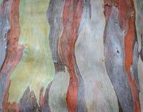 Eukaliptusowa drzewnej barkentyny tekstura Fotografia Stock