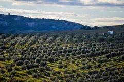 Eukaliptusowa plantacja Obrazy Stock