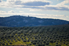 Eukaliptusowa plantacja Zdjęcia Stock