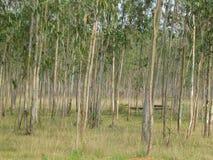 Eukaliptusowa plantacja i drzewa Obrazy Stock