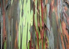 Eukaliptusowa tekstura Obraz Stock