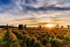 Eukaliptusowe rozsady w ranku słońcu zdjęcia stock