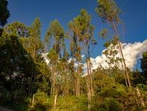 Eukaliptusowego drzewa las przy zmierzchem obrazy stock