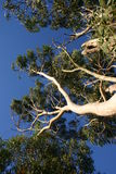 eukaliptusowi drzewa Obrazy Royalty Free