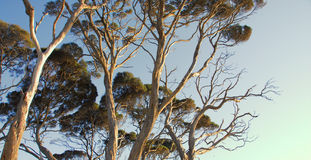 Eukaliptusowi drzewa Fotografia Stock
