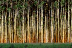 eukaliptusowi drzewa Fotografia Royalty Free