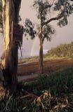 Eukaliptusowi drzewa i tęcza zdjęcia stock