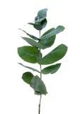 eukaliptusowi liść Fotografia Royalty Free