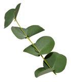 Eukaliptusowi liście fotografia royalty free