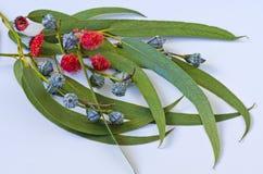Eukaliptusowi liście Obrazy Stock