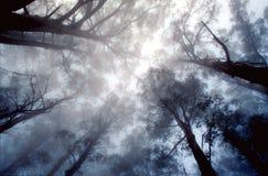 Eukaliptusowi wierzchołki Zdjęcie Royalty Free
