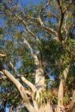eukaliptusowy drzewo Zdjęcia Stock