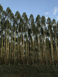 Eukaliptusowy drzewo Obrazy Stock