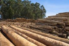 Eukaliptusowy drzewo Fotografia Stock