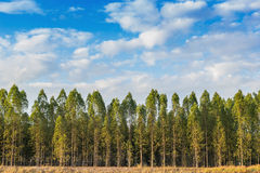 Eukaliptusowy drzewo Obraz Stock