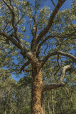 Eukaliptusowy drzewo Fotografia Royalty Free