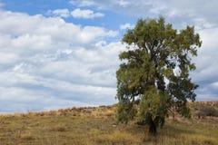 Eukaliptusowy drzewo na wzgórzu fotografia stock