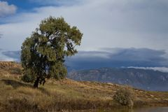 Eukaliptusowy drzewo na wzgórzu fotografia royalty free