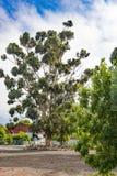 Eukaliptusowy drzewo, Południowa Afryka Fotografia Stock