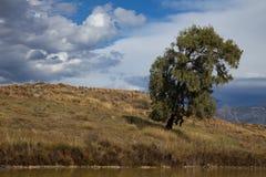 Eukaliptusowy drzewo przeciw niebu obraz royalty free