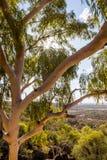 Eukaliptusowy drzewo w Australijskim odludziu Zdjęcie Stock