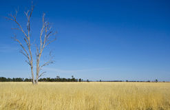 Eukaliptusowy Gumowy drzewo w siano łące blisko Parkes, Nowe południowe walie, Australia Zdjęcia Stock