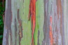eukaliptusowy Hawaii tęczy drzewo obraz stock