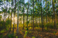 eukaliptusowy las Zdjęcia Royalty Free
