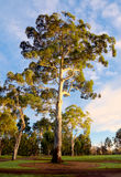 Eukalypten und blauer Himmel in Melbourne lizenzfreies stockfoto