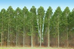 Eukalyptus Stockfotografie
