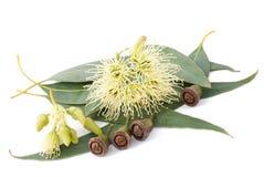 Eukalyptus Lizenzfreie Stockbilder