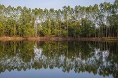 Eukalyptus Stockbilder