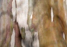 Eukalyptus Lizenzfreie Stockfotos
