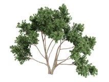Eukalyptus Stockbild