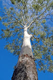 Eukalyptus-Baum in Australien Stockbild