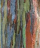Eukalyptus deglupta Baumrindebeschaffenheit Stockbilder