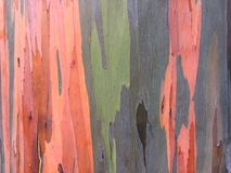 Eukalyptus Deglupta-Regenbogen-Eukalyptus-Baum, der auf Kauai-Insel in Hawaii wächst Lizenzfreie Stockfotos