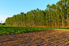 Eukalyptus Forest Grove mit dem Sonnenuntergang Stockbilder