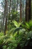 Eukalyptus forest2 Stockbild