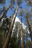 Eukalyptus forest3 Stockfotos