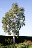 Eukalyptus gegen Winterhimmel Stockfotografie